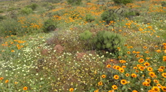 Wild flower landscape, Namaqualand, Northern Cape, South Africa Stock Footage