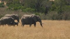 A herd of elephants walks along through a field of grass. Stock Footage