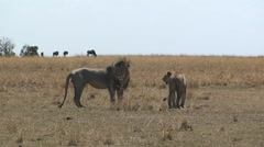 Lion and lioness looking around a grassy field. Stock Footage