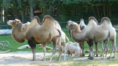 The Bactrian Camel, Camelus bactrianus Stock Footage