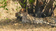 A cheetah and cubs enjoy shade under a bush. Stock Footage