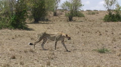 A cheetah walks across a grassy field. Stock Footage