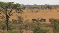 A herd of elephants walk in line across a hot bushy plain. Stock Footage