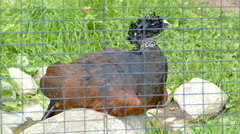The great curassow. Female. Crax rubra. Wild animals in captivity Stock Footage