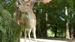 The wild fallow deer next to animal feeder in a forest Stock Footage