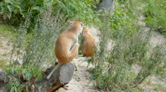 The patas monkey. Erythrocebus patas Stock Footage
