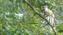 The patas monkey on a tree branch. Erythrocebus patas Stock Footage