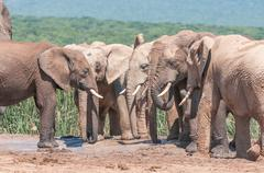 Congregation of mud covered elephants Stock Photos