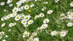 Green fields of common daisy spring background shallow DOF 4K 2160p 30fps UHD Stock Footage