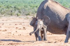 Young African Elephant calf flapping ears Stock Photos