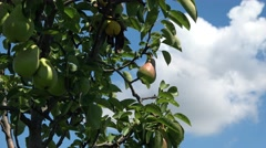 Organic orchard pear fruit trees. Stock Footage