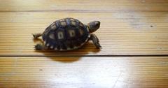 Baby sulcata tortoise Stock Footage