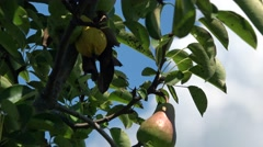 Pears Fruit tree summer time Stock Footage