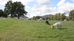 Goats graze in the green meadow Stock Footage