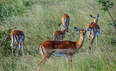Antilope crowd in Kenya, Africa Stock Photos