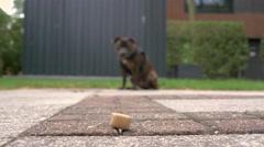 English Staffordshire Bullterrier puppy, 4k clip Stock Footage