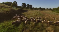 Group of sheep is running. Stock Footage