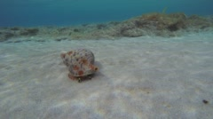 Triton Snail Leaving Stock Footage