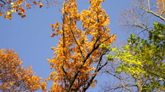 Seasonal changing colors of leaves. Stock Footage
