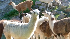 Herd of llamas Stock Footage