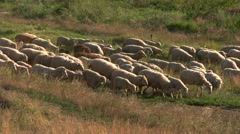 Group of sheep is walking. Stock Footage