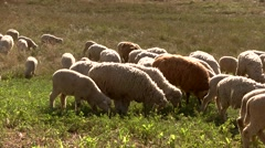 Group of sheep eats grass. Stock Footage