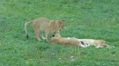 Female lion is resting with her offspring Stock Footage