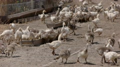 Many geese near troughs with feed. Stock Footage