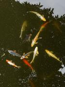 Some carp in the pond Stock Photos