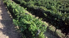 Aereal view vineyard Stock Footage