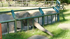 The African bush elephant at zoo is is collecting and eating grass Stock Footage