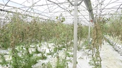 Greenhouse with rows of tomatoes Stock Footage