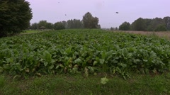 Beetroot field with birds before rain Stock Footage