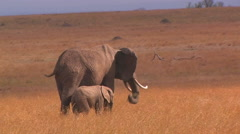 Two elephants eat tall grass in a field. Stock Footage
