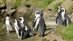 The African penguin (Spheniscus demersus) Stock Footage