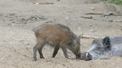 The wild young boar (Sus scrofa) and adult boar in a den Stock Footage