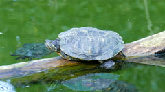 Red-Eared Slider Turtle in the pond. Trachemys Scripta Elegans Stock Footage