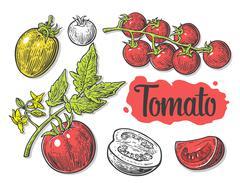 Tomato, half and slice isolated engraved illustration. Set hand drawn tomatoe Stock Illustration