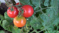 Red cherry tomato  Stock Footage