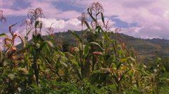 A strong gust of wind blows across a patch of corn in a field. Stock Footage