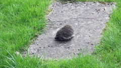 Young hedgehog being rescued Stock Footage