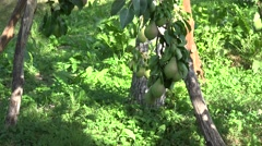 Basket full of organic pear fruits under fruiter tree in orchard garden. Tilt up Stock Footage