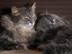Cat and kitten are sleeping together. gray cats, fluffy. Very similar, but di Stock Photos