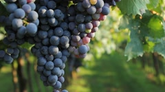 Bunches of dark purple grapes in a vineyard, pedestal Stock Footage