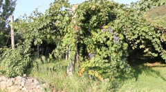 Panoramic view of a vineyard Stock Footage