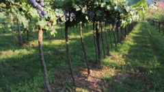 Close view of bunches of dark purple grapes in a vineyard in Veneto Stock Footage