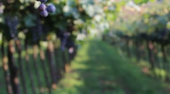 Bunches of dark purple grapes in a vineyard in Veneto, pedestal Stock Footage