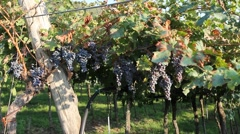 Bunches of dark purple grapes in a vineyard in Veneto Stock Footage