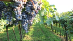 Bunches of dark purple grapes in a vineyard Stock Footage