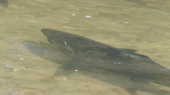 Salmon spawning run Stock Footage